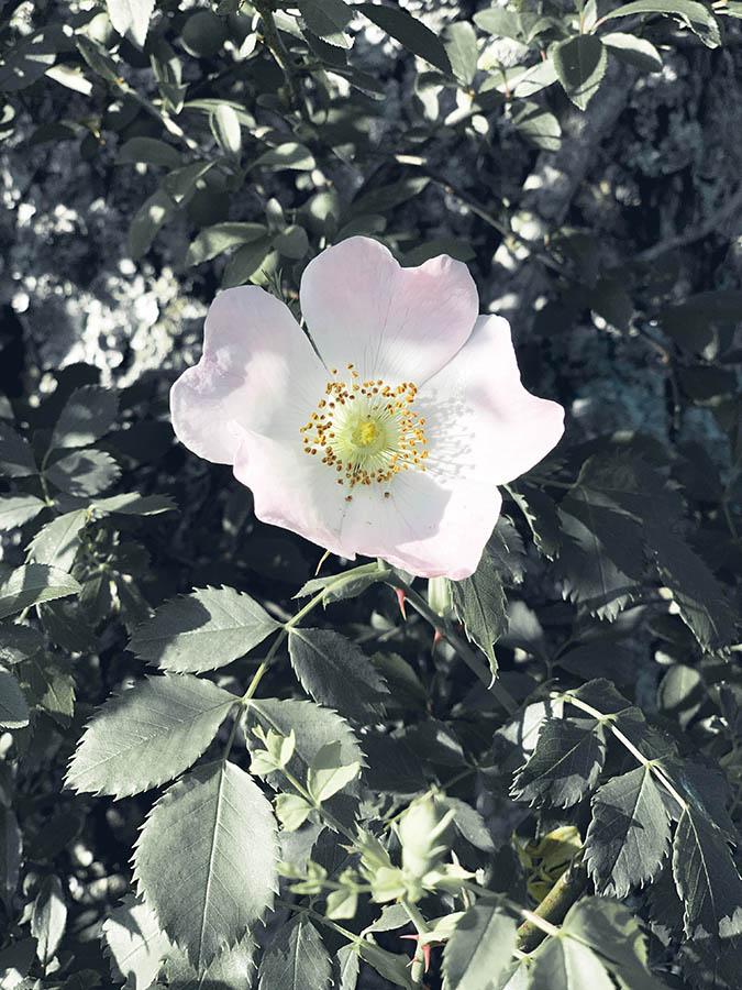 les trésors de la nature comme la fleur d'aubépine pour cueillette sauvage