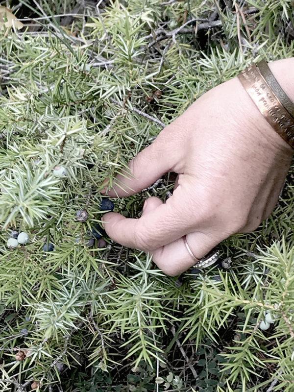 Cueillette plantes sauvages comestibles baies de genévrier