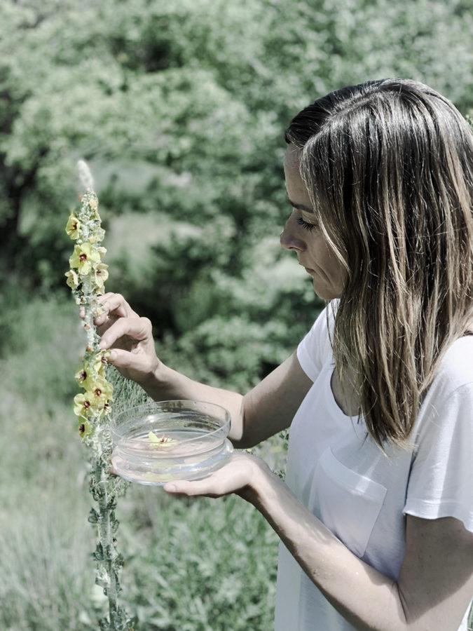 cueillette de bouillon blanc pour préparation eau florale séjour botanique de Wacohe