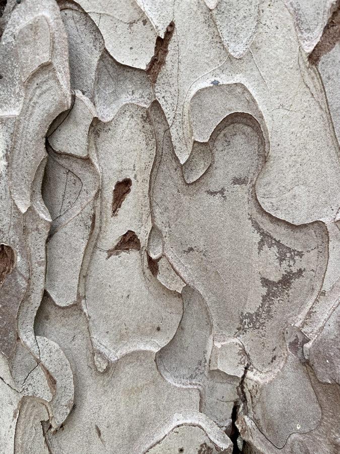Ecorce d'un arbre maître lors d'une sortie nature et botanique avec wacohe