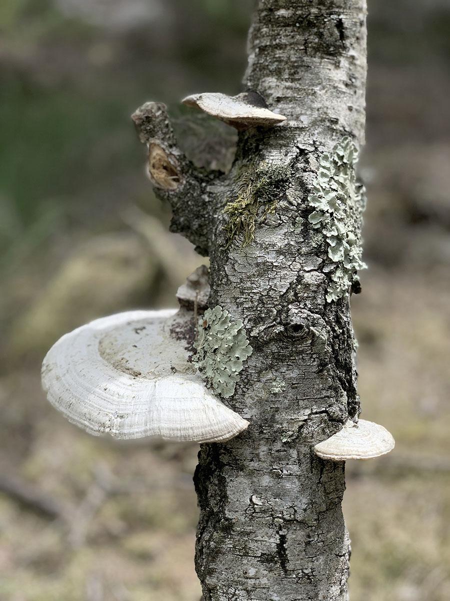 Champignon sur un arbre en pleine nature lors d'une sortie botanique wacohe