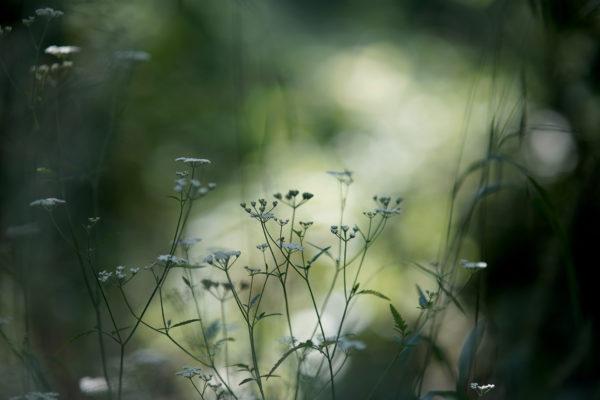 Plantes sauvages les simples en balade wacohe